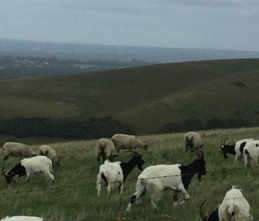Goats near Truleigh Hill